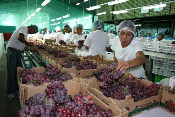 La uva será una de los productos que exhibirán los empresarios iqueños en la Expoalimentaria.