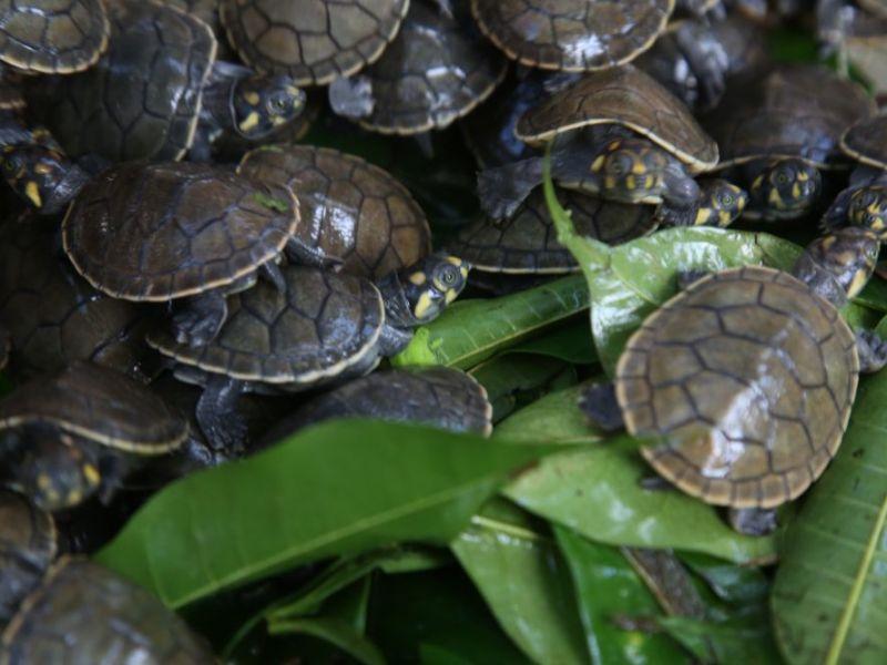 Liberan 6 mil taricayas en Primer Festival de Tortugas de Agua Dulce
