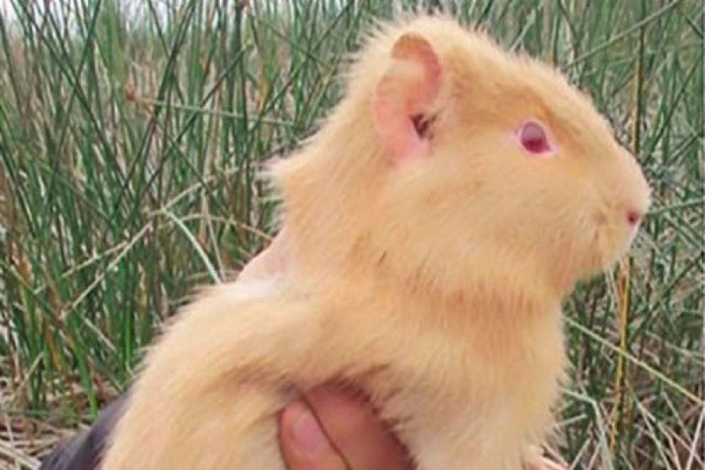 Cuy albino aparece en Los Pantanos de Villa y sorprende a investigadores