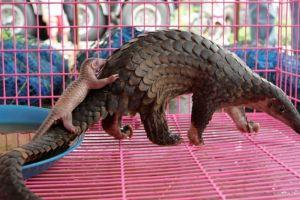 El Pangolín, un manjar en China, es posible huésped del coronavirus