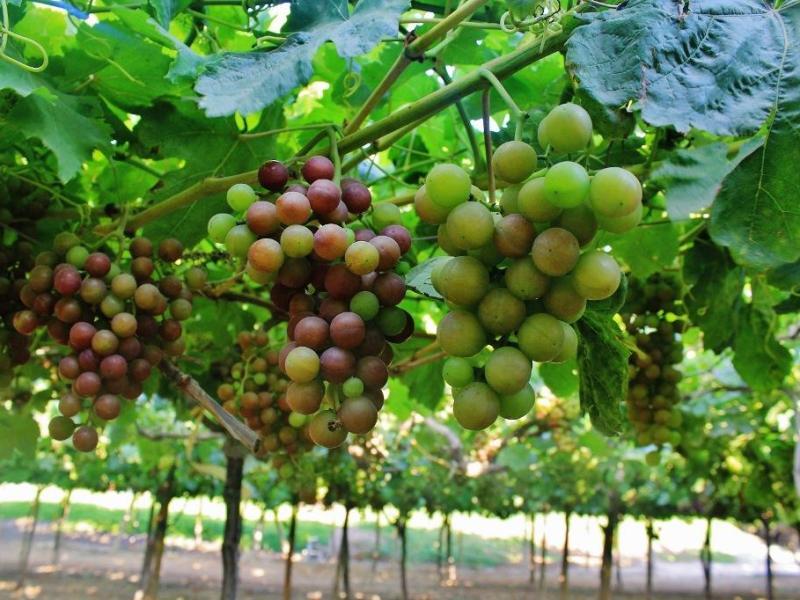 Uva del Perú