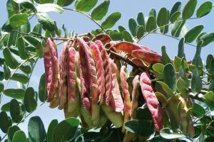 Adex: Exportación de derivados de tara perjudicados por especulación de dicho insumo