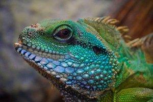 Lizard Colorful Head View Exotic  - Anrita1705 / Pixabay