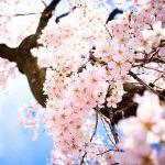 桜の花がまるごと落ちてきて変だなと思って見上げたら…