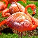フラミンゴの中に混じれてたアヒルが空気読んで片足あげてるww