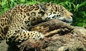 ジャガーさんだらしないですやんか。でもこの太い手足、可愛いですやんか🐾