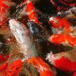 鯉の餌にまさかこんな効果があるとは…wwwww
