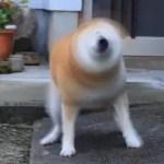 """「うちの柴犬で""""柴ドリル""""を撮ってみた…」→怖すぎる件ww"""