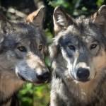 """狼が愛情表現で""""甘噛み""""する姿がとてつもなく愛おしい…😍"""