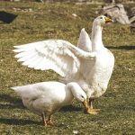 「なぜこの一羽だけ…」日光浴の姿勢が独特すぎるアヒルが公園で目撃されるw