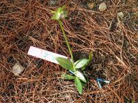 άγρια ορχιδέα στην περιοχή Αγίου Κωνσταντίνου Λαυρεωτικής / 26-1-2013