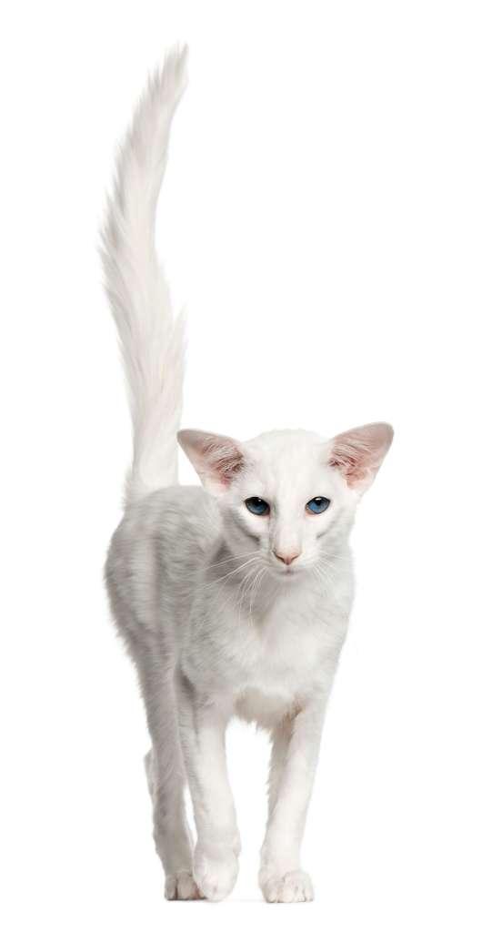 dik duruşlu balinese kedisi