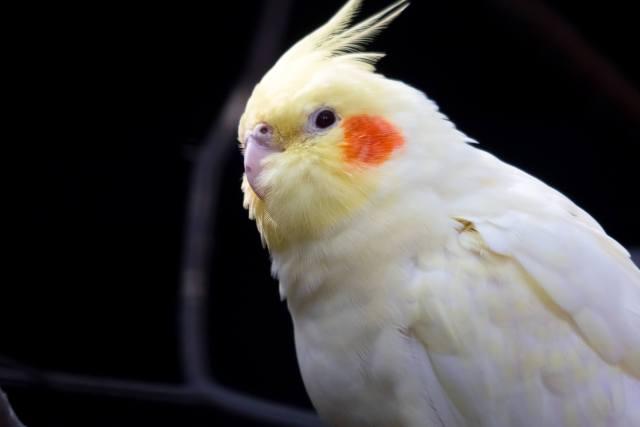 lutino sultan papağanı