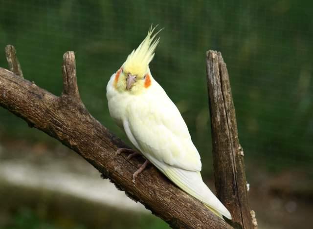 dalda lutino sultan papağanı