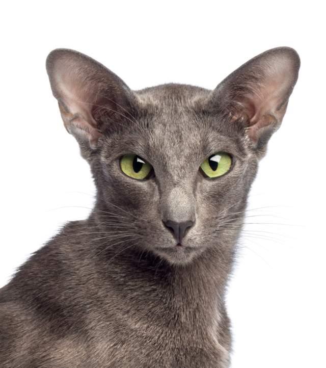 oryantal kısa tüylü kedisi