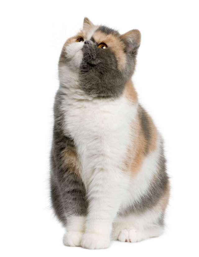 tombul kedi yukarı bakıyor