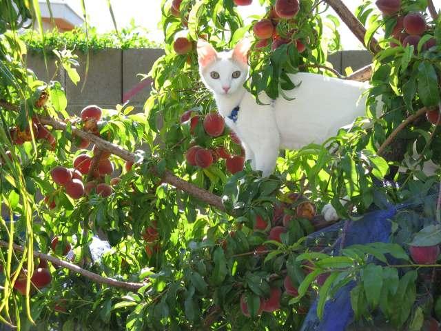 şeftali ağacına tırmanmış kedi