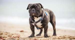 French bulldog sahilde