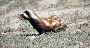 Yaban hayatında ender rastlanan türlerden alaca sansar Kayseri Sultan Sazlığı Milli Parkı'nda görüntülendi.