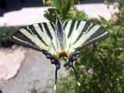 zebra çatak kuyruklu kelebeğinin yakından resmi