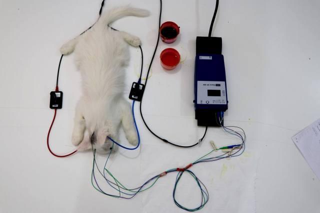 İşitme testinden geçen Yavru Van kedisi tepeden görsel