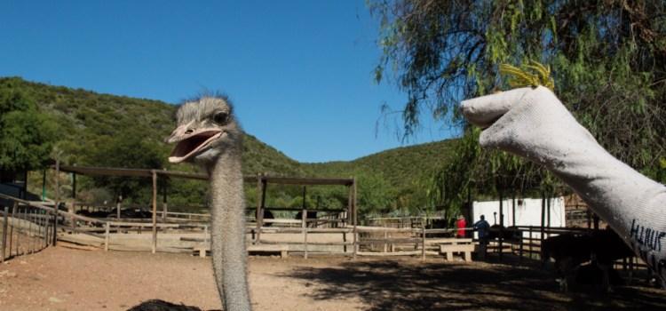 oudsthoorn granja avestruces