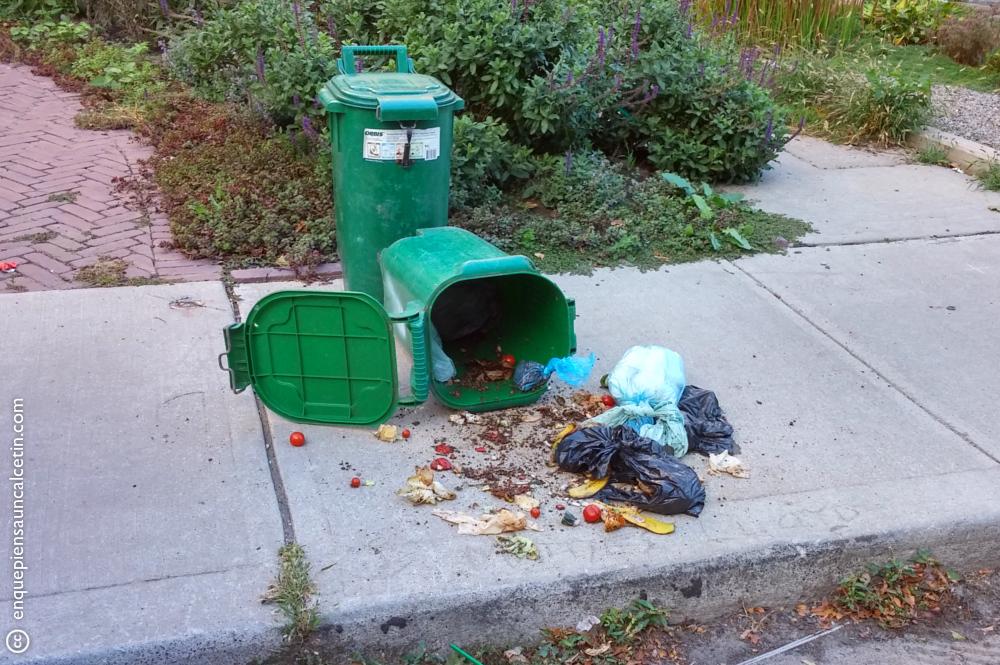 ¿Cómo saber si un mapache ha pasado por tu barrio?