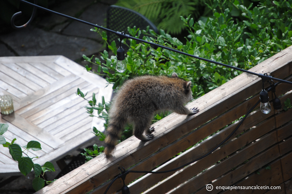 Un mapache buscando problemas.