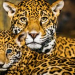 Creció la población de yaguaretés gracias a los esfuerzos de conservación