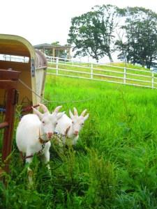 東濃牧場のヤギ