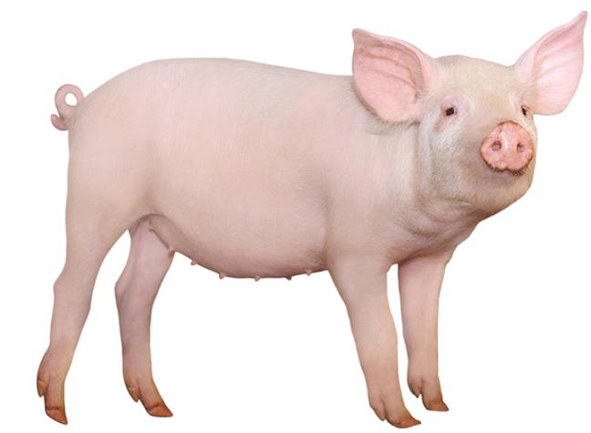 Swine Enrichment | Enrichment Record