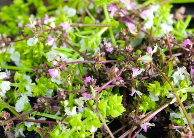 flores de albahaca, albahaca, pesto alla genovese