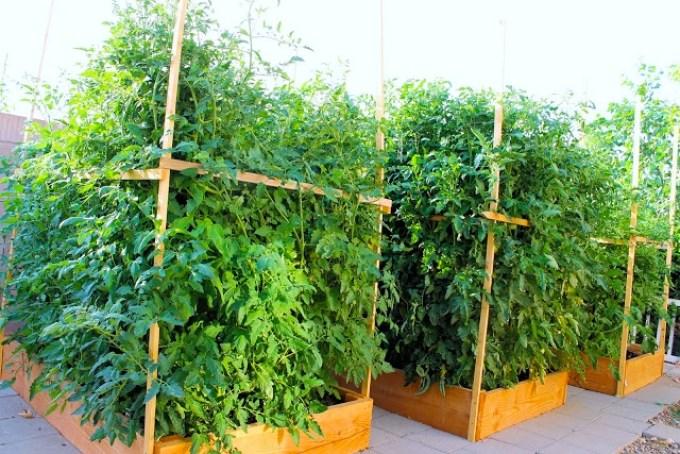plantas de tomate, tomates, tomatemanía
