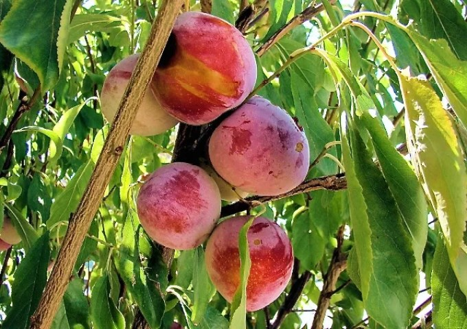 plums on a tree, jewels on my kitchen garden