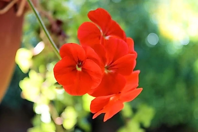 spring, geranium