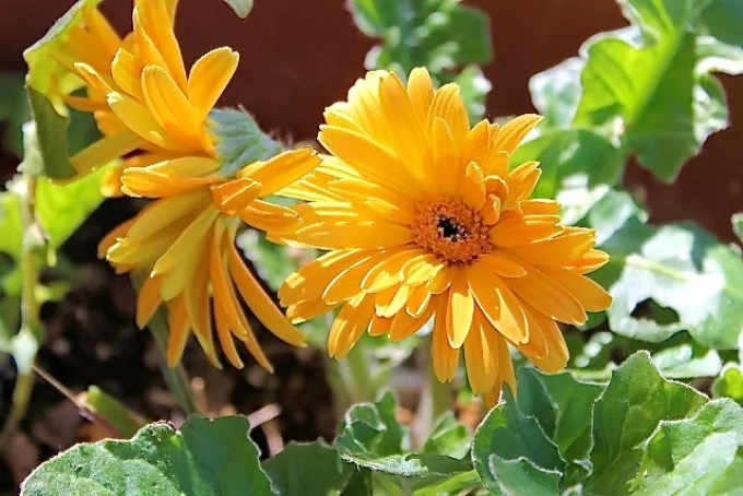 gervera, flowers, spring
