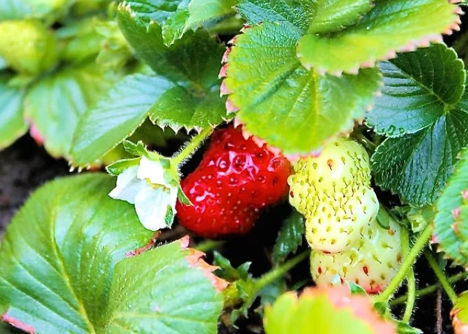 strawberries, spring is in the air