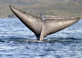 Blue whale shows its tail in Chilean waters / Ocean Great Ideas