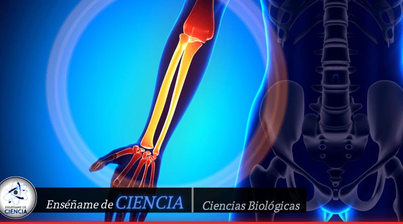 Una rara arteria en el antebrazo revela que la evolución humana aún continúa