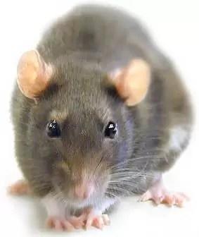 Organizan concurso de fotos sobre las ratas del metro de Nueva York