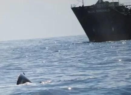 Sancionarán el buque petrolero que pasó cerca de las ballenas en Samaná con 10 millones de pesos