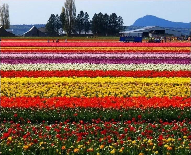 Imágenes de un campo sembrado de flores en Holanda