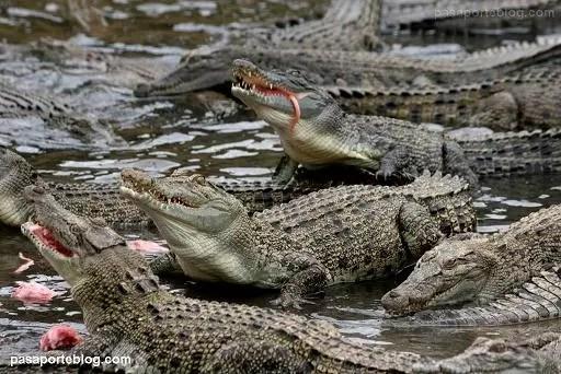 Narcotraficantes usaban cocodrilos para sembrar el terror