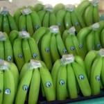 Productores bananeros de Amina piden auxilio ante abandono de autoridades del agro