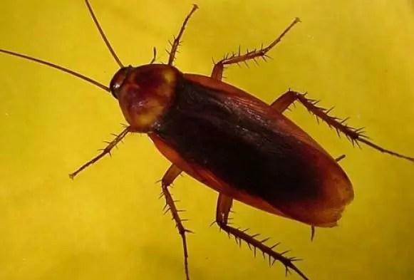 Cucarachas son las principales transmisoras de enfermedades diarreicas