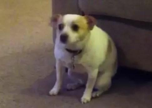 Un perrito que sabe bailar bien (video)