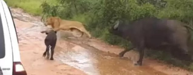 Mamá lo salva del león