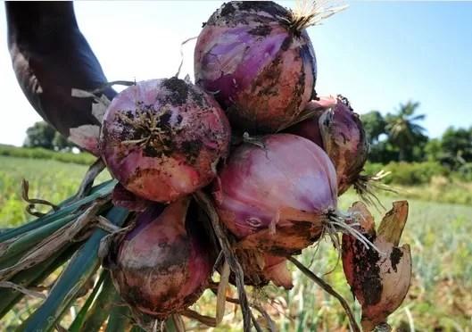 Los poderes curativos que contienen las cebollas