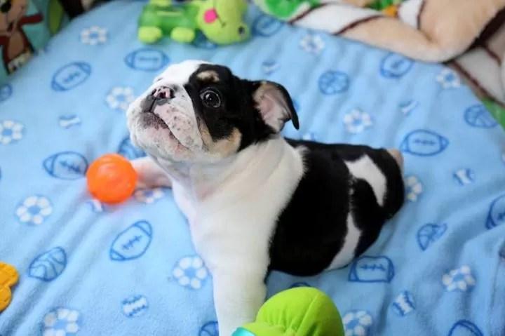 bonsai-bulldog-1