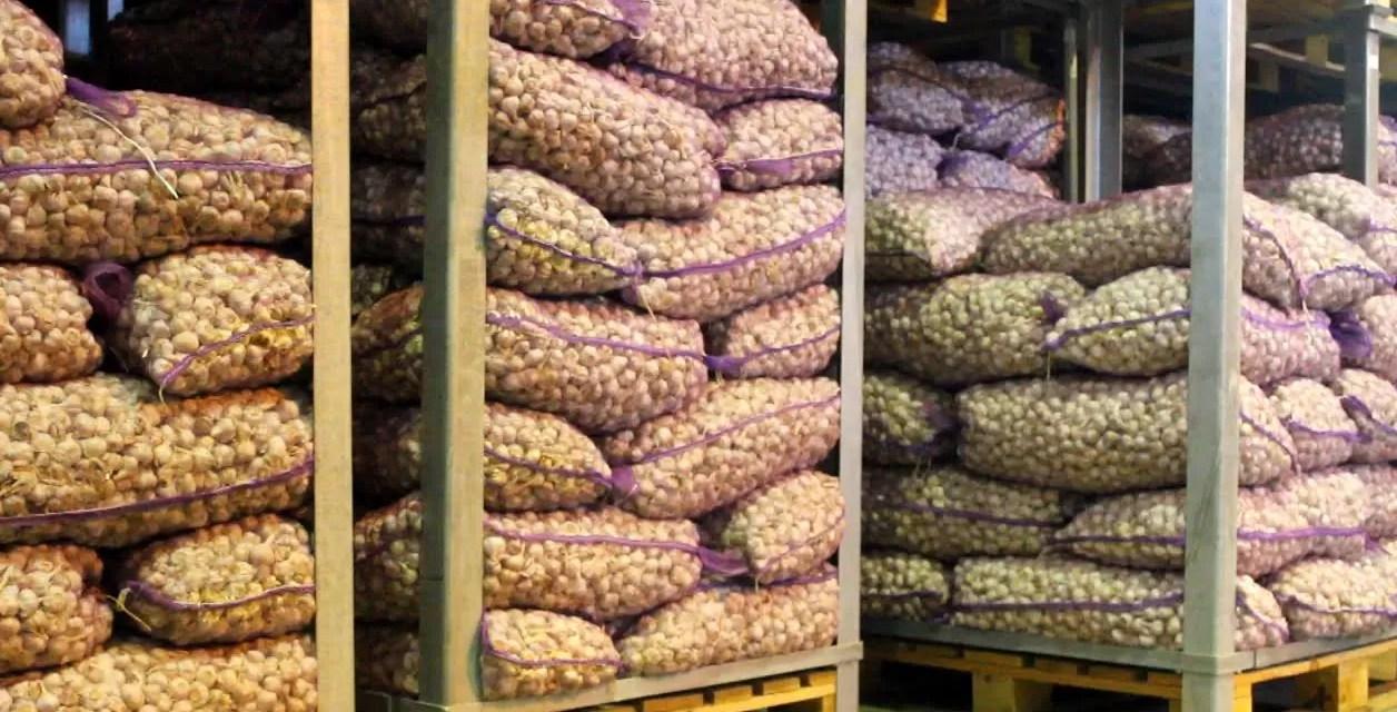 Culpan a sectores poderosos de boicotear siembra de ajo en  Constanza